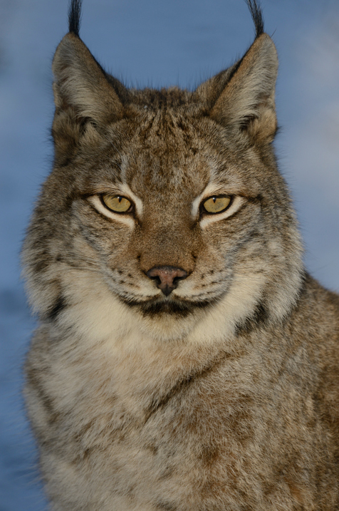 1/250sec, f/7.1, 400mm The 400 mm super-telephoto delivers great reach for distant subjects, which can be crucial when shooting elusive wildlife. Notice the sharp details on the lynx's face — all yours thanks to a new optical design and the extremely high-megapixel resolution of the D800.