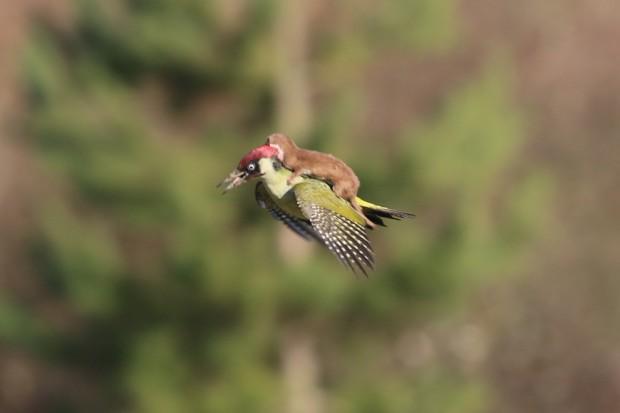 canon 70d weasel woodpecker